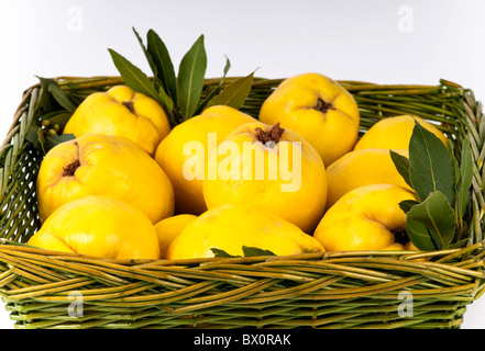 Green basket filled with fresh autumn quinces (Cydonia oblonga) ready for jelly making. With olive leaves. - Stock Photo