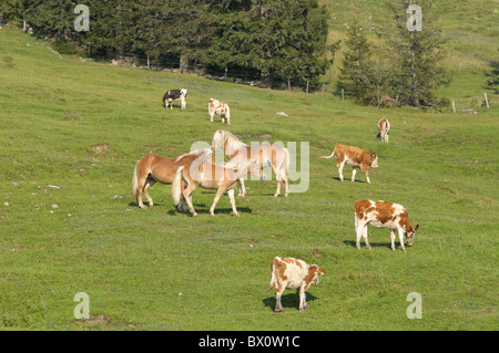 Young Haflinger stallions together with cows on alpine pasture - Stock Photo