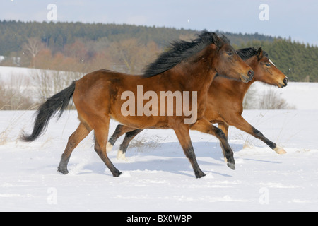 Two Paso Fino horse galloping together in snow - Stock Photo