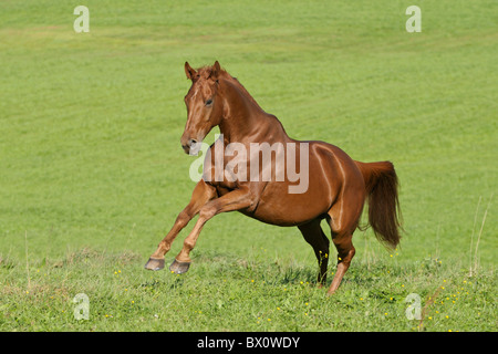 Hanoverian breed horse galloping in the field - Stock Photo
