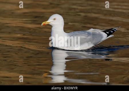 A Herring Gull on the shore of Llyn Gwynant - Stock Photo