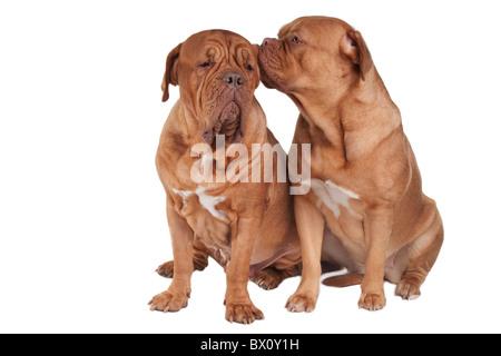Puppy is whispering a secret in its friend's ear - Stock Photo