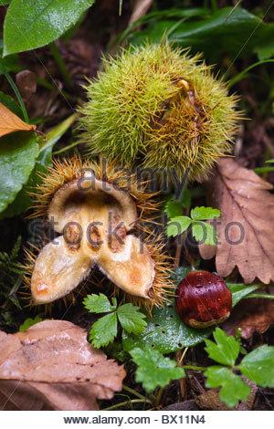 sweet chestnut fall in autumn - castanea sativa - Stock Photo