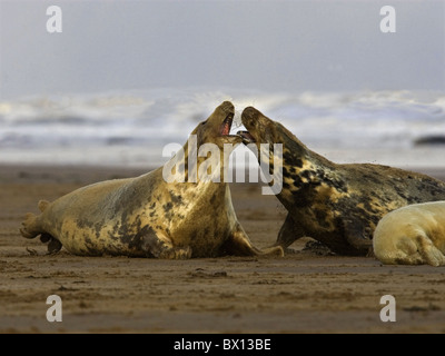 Grey seals on beach fighting - Stock Photo