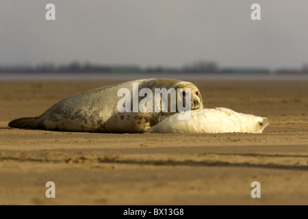 Grey seal cow with young pup on beach - Stock Photo