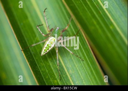 Green Lynx spider on a leaf in India - Stock Photo