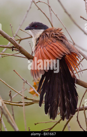 Portrait of a Burchell's coucal (Centropus burchelli) on a twig. The photo was taken in Kruger National Park, South - Stock Photo