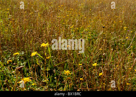 Corn marigold, Chrysanthemum segetum, Wales, UK Stock Photo