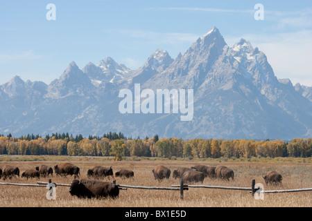 American Bison Herd in Grand Teton National Park - Stock Photo