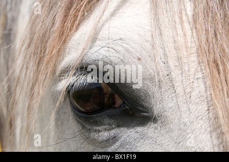 Oregon U.S.A. Gentle eye of a Lusitano mare. This is a breed of horse reared for centuries for intellignce. - Stock Photo