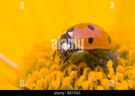 Seven spot ladybird on a perennials sunflower - Coccinella septempunctata - Stock Photo