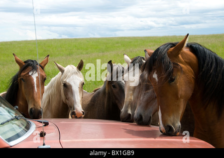 Lusitano horses attracted by smell of paint on hood of car.  They lick it which is not healthy for the car nor the - Stock Photo