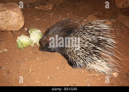 Yong Indian Crested Porcupine (Hystrix indica), - Stock Photo
