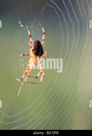 Garden spider in a web - Araneus diadematus - Stock Photo