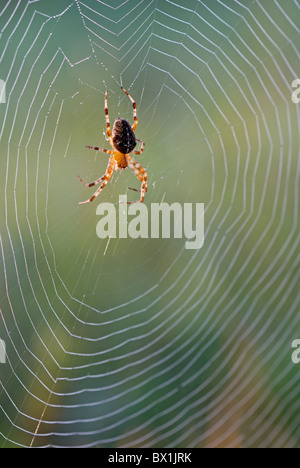 Garden spider in the middle of its web - Araneus diadematus - Stock Photo