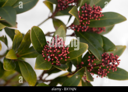 Japanese Skimmia (Skimmia japonica 'Rubella') coming into bud against a white background - Stock Photo