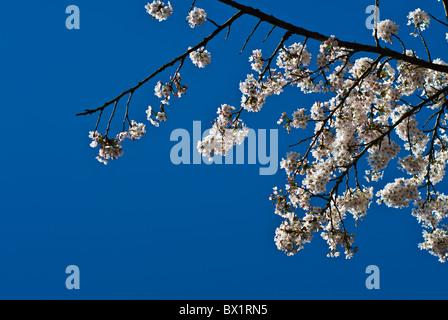 Tree blooming Manchester UK - Stock Photo