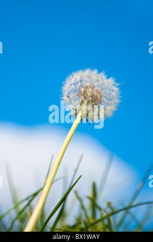 Close up of a dandelion flower, spring season. - Stock Photo