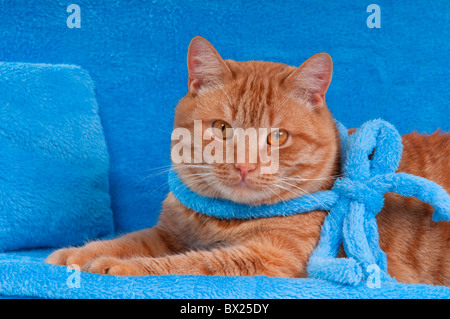Cat with blue ribbon is having a rest on a sofa - Stock Photo