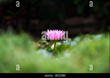 Nymphaea. Tropical waterlily flower in a pond in India. Shallow Depth of field - Stock Photo
