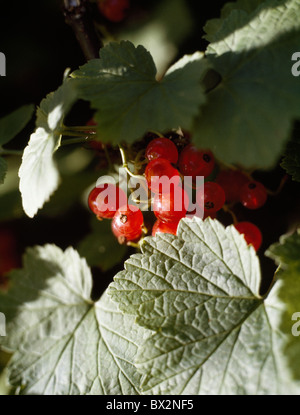 Berries And Leaves; Red Currants (Ribes Rubrum) - Stock Photo