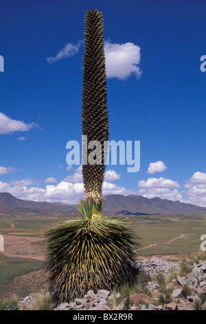 Altiplano Bolivia endangered plant Puya Raimondii South America America Cerro Comanche - Stock Photo