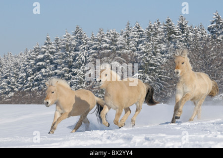 Three young Norwegian horse galloping in snow - Stock Photo