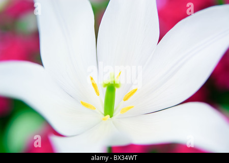 Extreme close-up of a white lily with pink background - Stock Photo