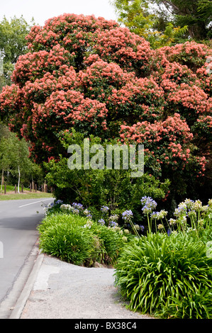 Rata Tree in Flower,Agapanthus,Flowers,Havelock North,Hawke's Bay,North Island New Zealand - Stock Photo
