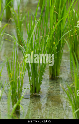 rice field in early stage - Stock Photo