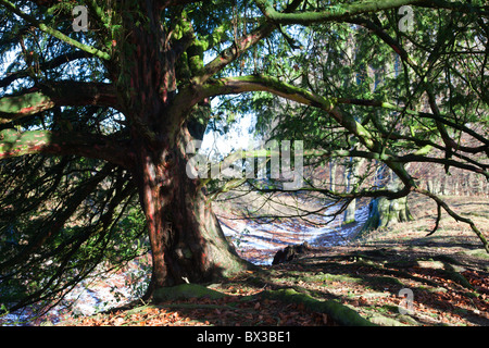 Yew tree, Taxus baccata at the Danebury Iron Age Hill Fort, Hampshire, UK - Stock Photo
