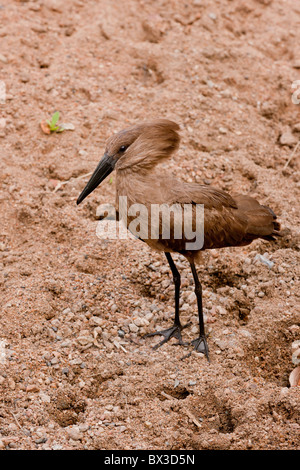 Portrait of a hammerkop (Scopus umbretta) at a waterhole. The photo was taken in Kruger National Park, South Africa. - Stock Photo