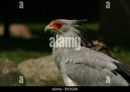 Sekretaer - Sagittarius serpentarius | Secretary Bird - Sagittarius serpentarius - Stock Photo
