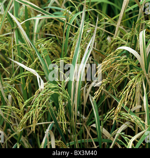 bacterial blight of rice pdf