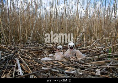 Marsh Harrier (Circus aeruginosus) chicks in nest, Sweden - Stock Photo