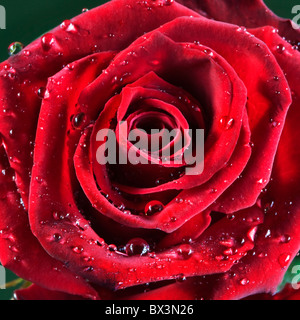 Red rose covered in drops of water - Stock Photo
