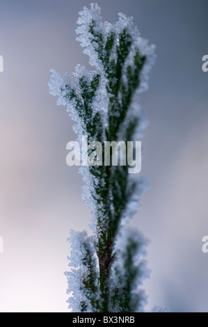 Conifer bush covered in frost. - Stock Photo