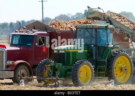 Yellow onion harvest in Canyon County, Idaho, USA. - Stock Photo