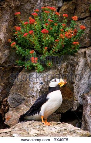 Horned Puffin, Alaska Maritime National Wildlife Refuge near Lake Clark National Park, Alaska. - Stock Photo