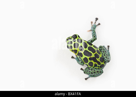 Black Spotted Green Poison Dart Frog (Ranitomeya Imitator) - Stock Photo