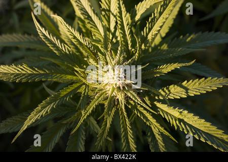 Marijuana Plant; Waterloo, Quebec, Canada - Stock Photo