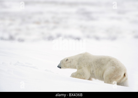 A Polar Bear (Ursus Maritimus) Journeys Through Heavy Snow To Search For Food; Churchill, Manitoba, Canada - Stock Photo