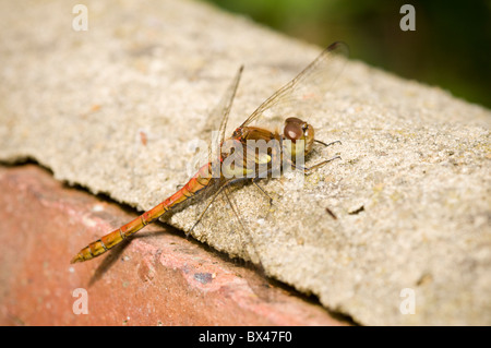Female Common Darter Dragonfly Sympetrum striolatum resting on a garden wall - Stock Photo