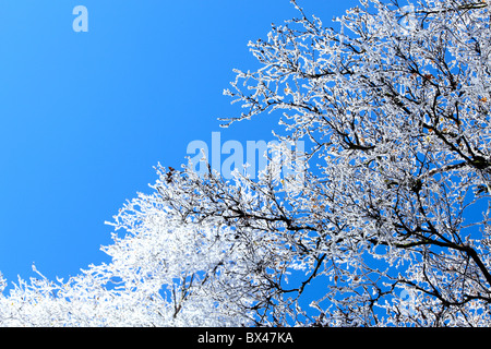 snow covered bare trees against blue sky - Stock Photo