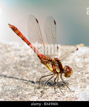 Common Darter - Sympetrum striolatum - Stock Photo