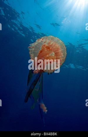 Patterned Luminescent Jellyfish (Pelagia noctiluca) swimming through blue waters, France. - Stock Photo