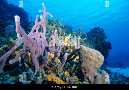 Soft coral growing in an underwater garden, Palancar Reef, Cozumel Island, Yucatan Peninsula, Mexico. - Stock Photo