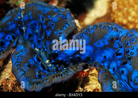 Close up of a large blue Giant Clam (Tridacna maxima) - Stock Photo