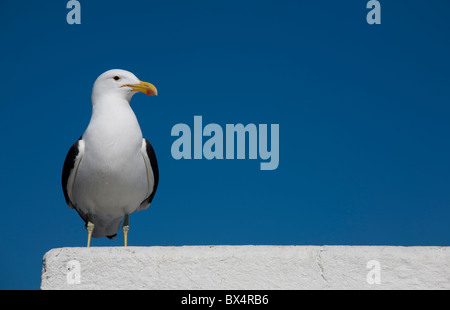Seagull on a wall. - Stock Photo