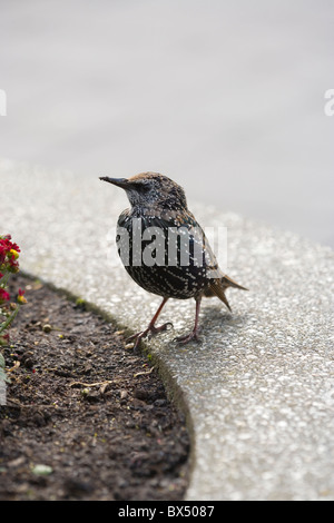 Starling (Sturnus vulgaris). In later stage transitional moulting of plumage from juvenile to adult. October. - Stock Photo